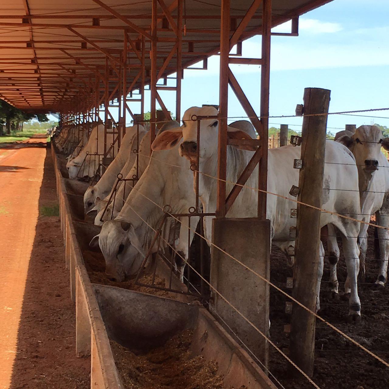 Micotoxinas prejudicam o rendimento do gado de corte e são um inimigo  oculto do produtor 9693043e0d2