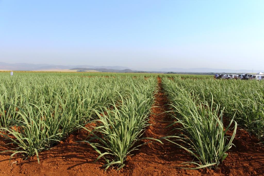 O Instituto Agronômico (IAC-APTA) bateu novo recorde de levantamento de  intenção de plantio de variedades de cana-de-açúcar no Brasil para a  próxima safra 897de16c71b