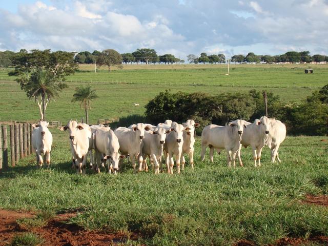 """""""Utilizar o conceito do Boi 7.7.7 é a forma de se ganhar dinheiro hoje com  a pecuária no Brasil"""". A frase é de Fernando Nemi Costa bafcdd50586"""