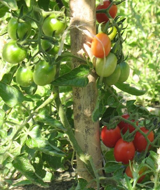 Cultivo de tomate orgânico será tema de treinamento do Instituto Biológico